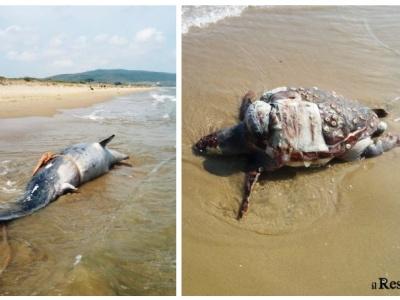 Capojale, carcassa di delfino e tartaruga sulla spiaggia