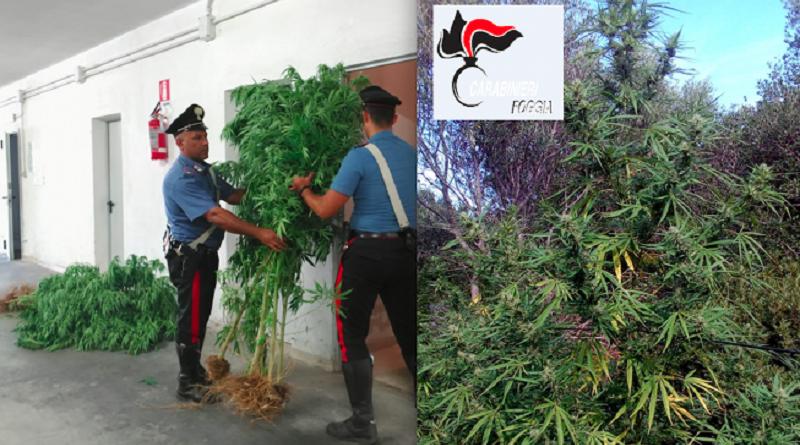 Coltivava 100 piante di marijuana: arrestato