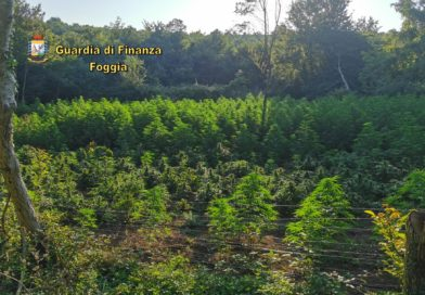 """""""Bosco Rosso"""", la Guardia di Finanza scopre tre piantagioni di canapa indiana"""