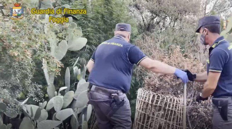 Un'altra piantagione di marijuana sequestrata sul Gargano, arrestato incensurato di San Nicandro Garganico